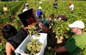 france_wine_harvest_029bb